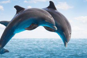 Delfini: inteligentni timski igrači