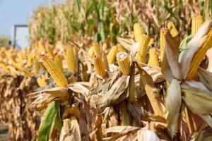 Srbija među 10 najvećih izvoznika pšenice i kukuruza