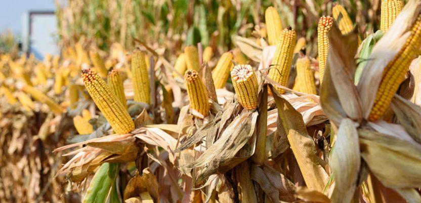 Visoke temperature neće naštetiti rodu kukuruza