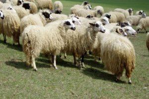 Lička jagnjetina zaštićeni hrvatski proizvod u EU