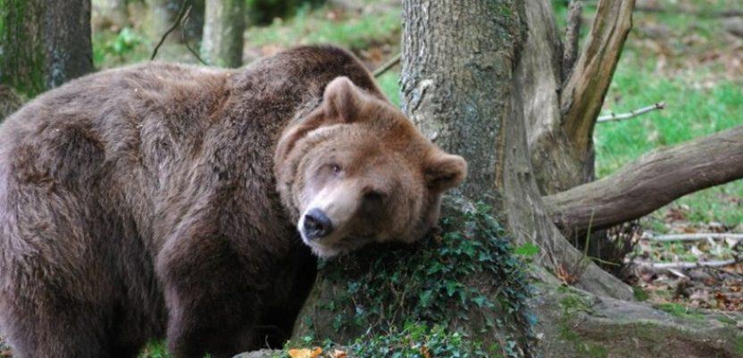 Raste brojnost medveda i vukova u Srbiji