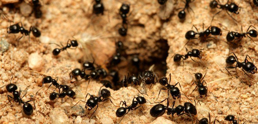 Timski rad mrava kao tajna opstanka
