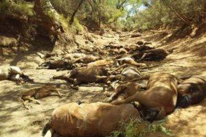 Paklene vrućine u Australiji, umiru životinje