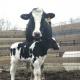 Steona krava provalila vrata kamiona na putu u klanicu