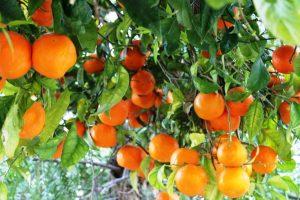 EU: Polovina proizvodnje pomorandži potiče iz Španije