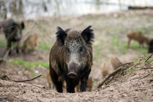 Naloženo preventivno ubijanje divljih svinja zbog afričke kuge