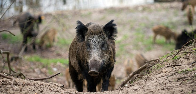 Odstrel divljih svinja u Republici Srpskoj