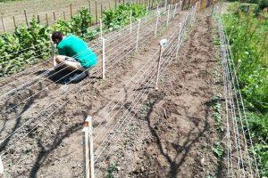 Čačanin daje zemlju mladima da gaje organsko povrće