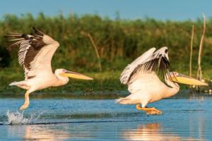 Pelikani na Dunavu posle 100 godina