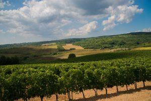 Vinarija Kovačević prelazi na organsku proizvodnju vina