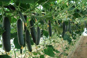 Krastavci iz Albanije oborili cene leskovačkim povrtarima