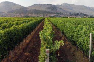Carska žilavka ponovo u vinogradima