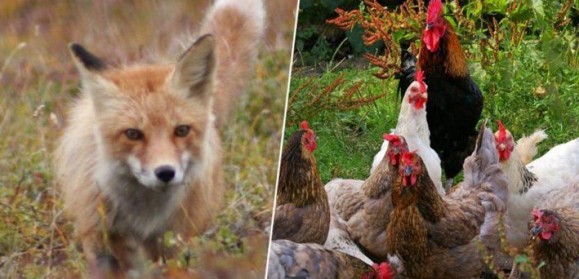 Kokoške se udružile da ubiju lisicu na farmi