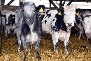Belgijsko plavo goveče prvi put na Sajmu
