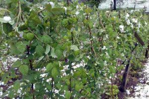 Nevreme smanjilo rod voća za 10 do 15 odsto