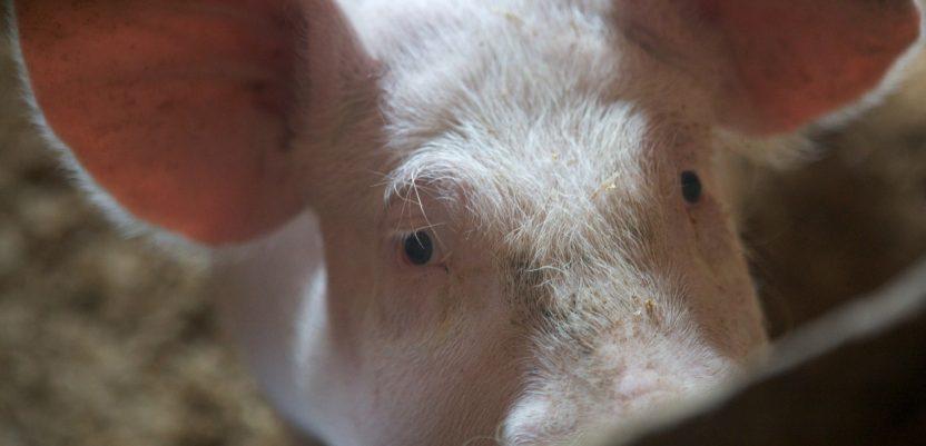 Plavi proteini iz mora za ishranu svinja