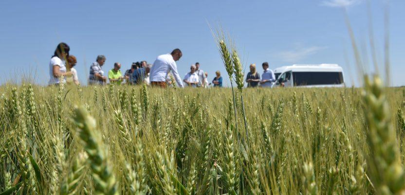 Preko milion tona pšenice biće za izvoz