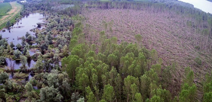 BG: Olujna pijavica uništila topole na oko 200 hektara