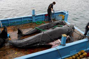 Posle tri decenije Japan dozvolio lov na kitove
