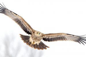 Srpsko nebo postalo bogatije za dva orla krstaša