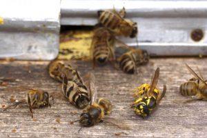 Rusija upalila alarm zbog masovnog umiranja pčela