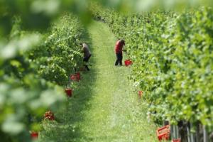 Hercegovačkim voćarima fale sezonski radnici