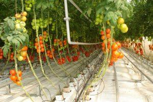 Hidroponska farma vraća ugled italijanskom paradajzu