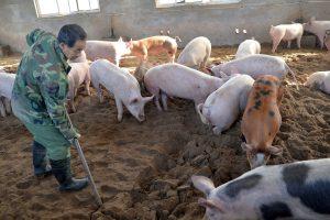 Svinjski fond Kine srezan za trećinu