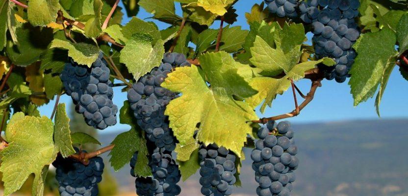 U srcu vinorodne Župe niko neće u školu za vinare