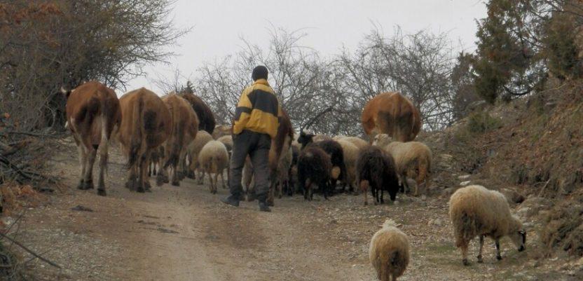 Nova Varoš: Psi lutalice i medvedi sve češće kolju stada