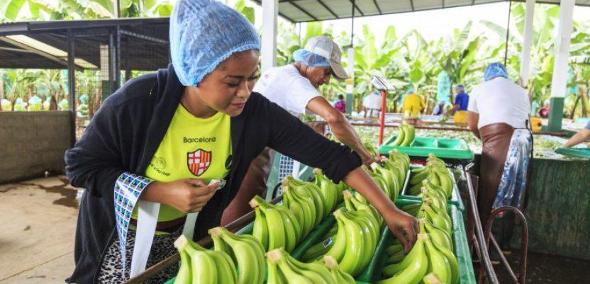 Klimatsko-neutralne banane na holandskom tržištu