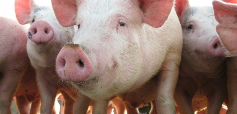 U Bugarskoj još jedan slučaj afričke svinjske kuge