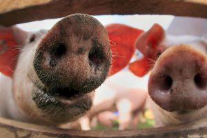 Austrija pojačala kontrole zbog svinjske kuge u Srbiji