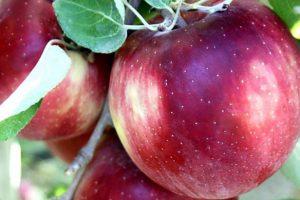 SAD: U lansiranje nove sorte jabuke uloženo 10 miliona $