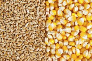 Pad cene kukuruza, rast cene pšenice
