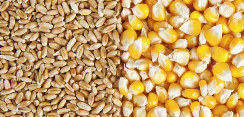 Povećanje proizvodnje pšenice i kukuruza u svetu