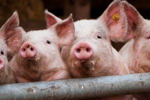 Dva pravca u suzbijanju afričke kuge svinja
