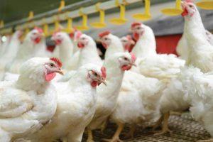 Piletina sve jeftinija, živinari na gubitku