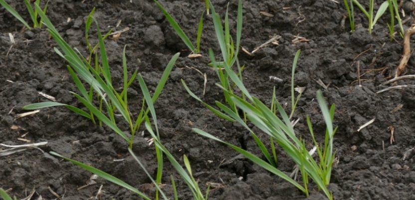 Kiša dobro došla pšenici