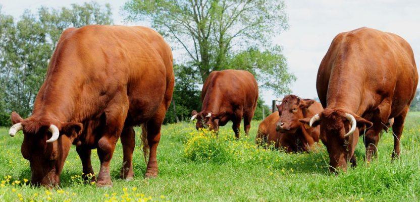 EU: Zaštićena govedina crvene flandrijske pasmine