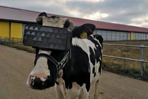 """Ruske krave dobile VR naočale radi """"smanjenja anksioznosti"""""""