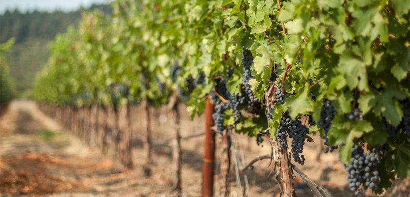 Dostupna studija o vinogradarstvu i vinarstvu Srbije