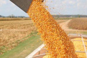 Porasla cena kukuruza pred berbu