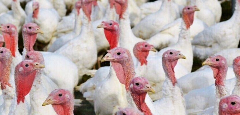 Na farmi ćurki u Mađarskoj otkriven ptičji grip