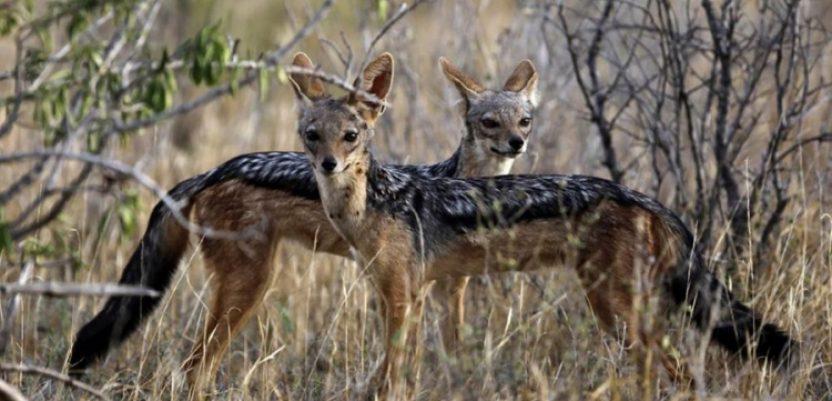 Najezda šakala u Šumadiji