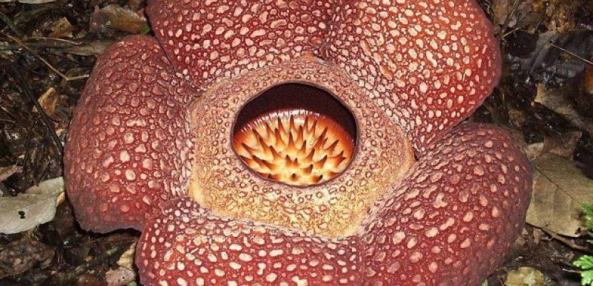 """""""Cvet čudovište"""" pronađen u divljini Indonezije"""