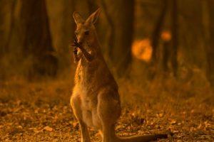 U Australiji stradalo 480 miliona životinja