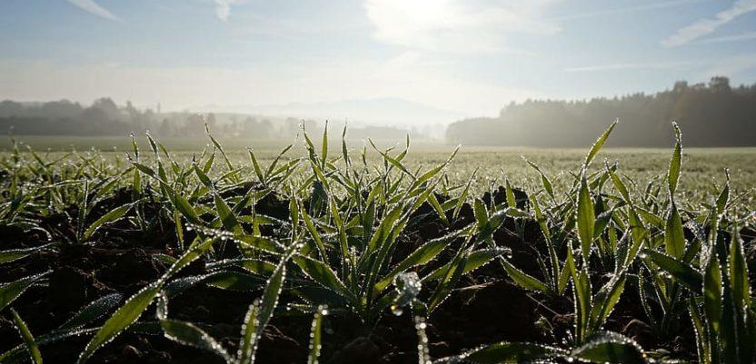Hladnoća po golomrazici štetna za pšenicu