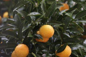 EU: Zabranjen uvoz voća tretiranog štetnim insekticidom