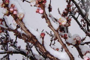 Mraz i sneg obrali gotovo sve kajsije